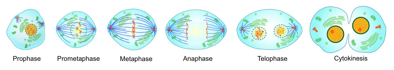 Phases of Mitosis and Cytokinesis