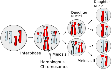 Simplified overview of Meiosis