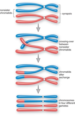 Crossing over during Late Prophase I of Meiosis