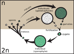 Sexual Reproduction Life Cycle