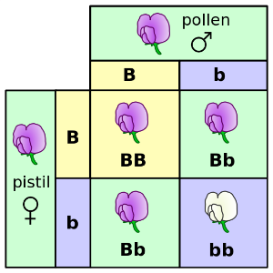 Punnett square for Mendel's pea color.