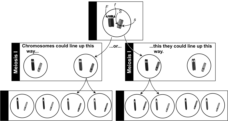 Meiosis explains Mendel's Principle of Independent Assortment