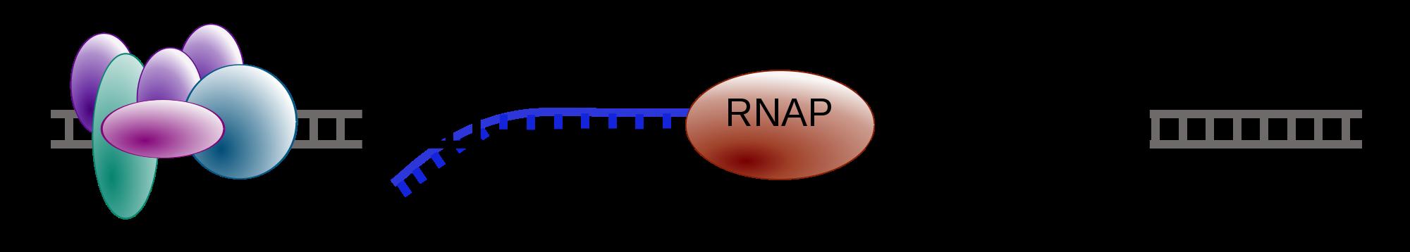 Elongation phase of transcription
