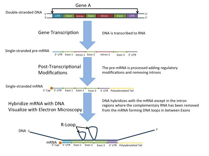 Post-transcription modification in eukaryotes: RNA splicing