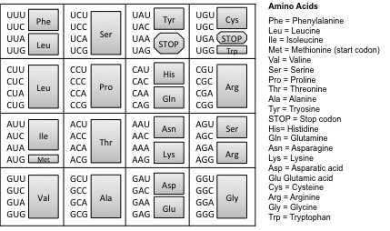 The Genetic Code. The triplet code mRNA directly codes for the assembly of amino acids that make up a protein. To identify the amino acid coded by the mRNA sequence, locate the mRNA triplet code (codon), the grey box to its right represents the corresponding amino acid. For example, CCC indicates the amino acid Proline (Pro).