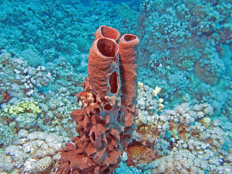 800px-Red_Tube_Sponge.jpg