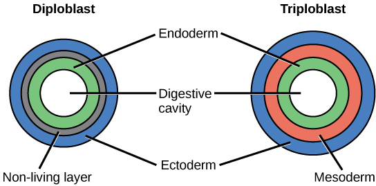 Figure 6.   A comparison of diploblasty vs. triploblasty of the blastula.  During early embryonic development in animals, undifferentiated cells begin to differentiate. In diplobastic animals the initial differentiation produces two distinct germ layers: the endoderm and ectoderm. In all animal, these layers develop into the digestive system and outer layer (i.e. skin), respectively.