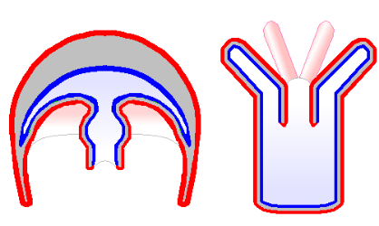 Figure 8.   Diploblasty in cndiarians (jellyfish-left, anenome-right).  The external layer of the adult (red) emerges from the ectoderm, whereas the internal digestive organ emerges from the endoderm.