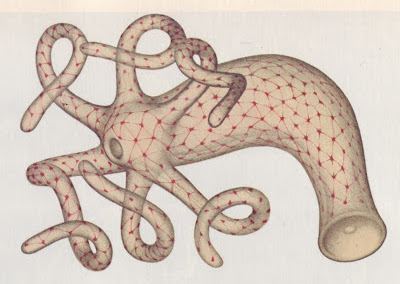 Figure 9.   Example of a nerve net in a hydra.  Nerve and muscles originated in the ancestors of Cnidaria and Ctenophora. The nerve net allows these organisms to sense and react to their environment. However, unlike triploblastic animals there is no localized collection of nerves.