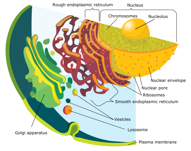 Figure 4.   Endomembrane system of a eukaryotic cell.  Linear DNA, known as chromosomes, housed within the nucleus generates RNA molecules. Processed RNA molecules exit the nuclear envelope via nuclear pores and enter into the rough endoplasmic reticulum (or the cytoplasm) and attach to a ribosome (synthesized in the nucleolus of the nucleus), where a protein is synthesized. Attached to the rough endoplasmic reticulum is the smooth reticulum, which lacks ribosomes and is responsible for lipid synthesis. Once a protein is synthesized, it may travel to the Golgi apparatus along the cytoskeleton network. At the Golgi apparatus, the protein can be modified and packaged for use within the cell or excreted. Lysosomes are specialized vesicles that are responsible for breaking down a variety of biochemicals.