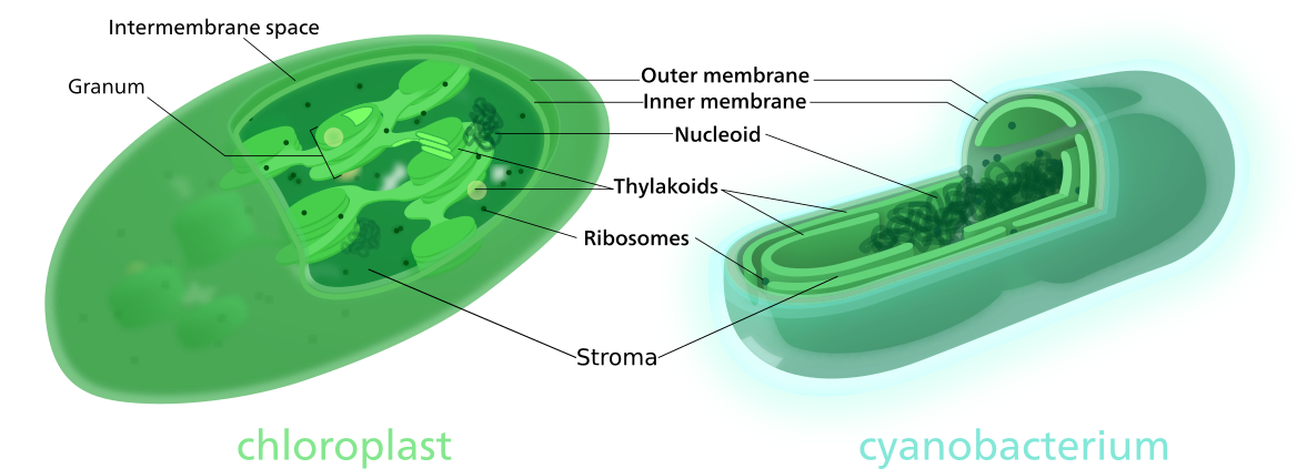 Figure 10.   Comparison of a chloroplast and cyanobacterium.  Chloroplasts are thought to have originated from a singular, endosymbiotic event in which a eukaryote engulfed, but did not digest, a cyanobacterium. In both structures, chlorophyll (the site of the light reactions) is housed on membranes of internal structures known as thylakoids. Membranes of thylakoids in cyanobacteria run parallel to the cell membrane. Whereas thylakoids in chloroplasts stack generating structures called grana, enhancing the internal surface area allowing for more chlorophyll and thus, greater efficiency. Both cyanobacteria and chloroplast have nucleoids, containing circular DNA capable of producing RNA and proteins. They also both have two membranes, likely a remnant of an endosymbiotic event. The fluid between the thylakoids and inner membrane, known as the stroma, is the location of the Calvin cycle.