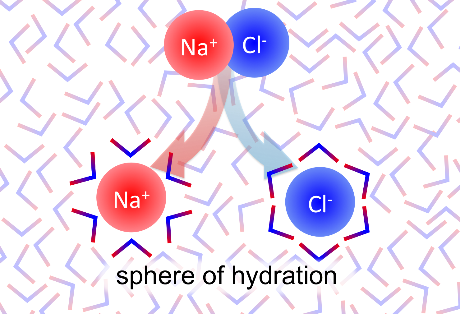 Figure 17.   Water as a solvent.  Water's partial charges interact with ionic compounds (i.e. NaCl) and partial charges of polar molecules. Water can disassociate atoms in ionic molecules, and the partial charges form a stable structure surround the ions, known as a sphere of hydration.