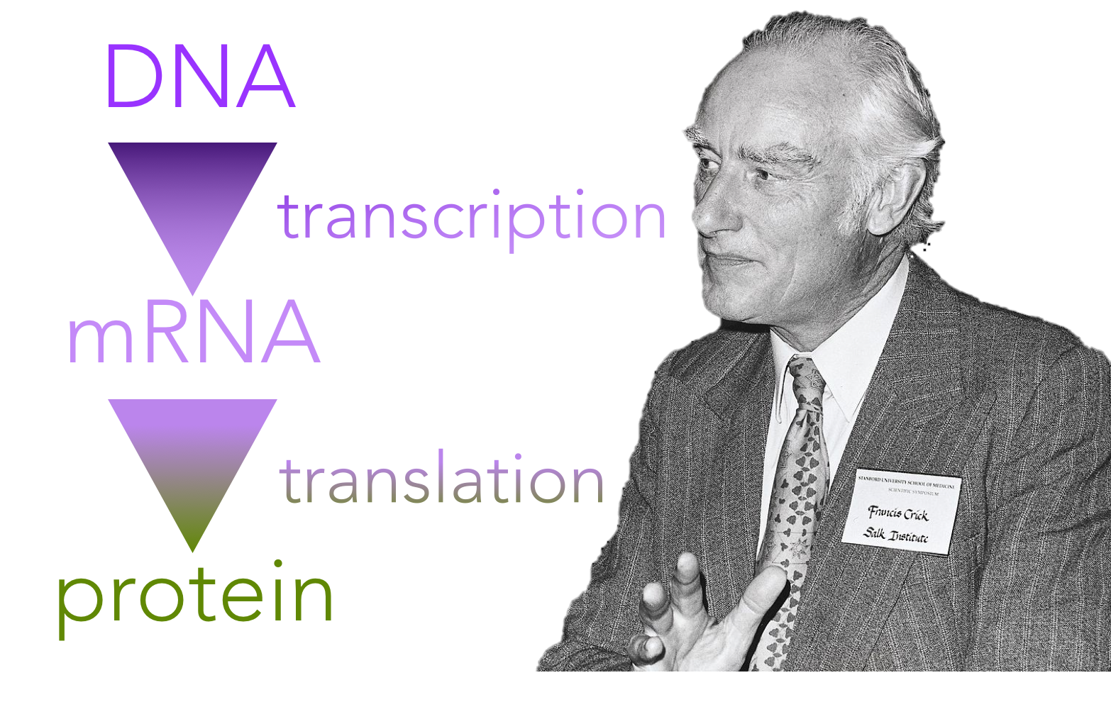 Figure 1.   The central dogma of molecular biology. Coined by Francis Crick, the central dogma of biology states that DNA codes for the production of proteins, though indirectly through an intermediary molecule, RNA.