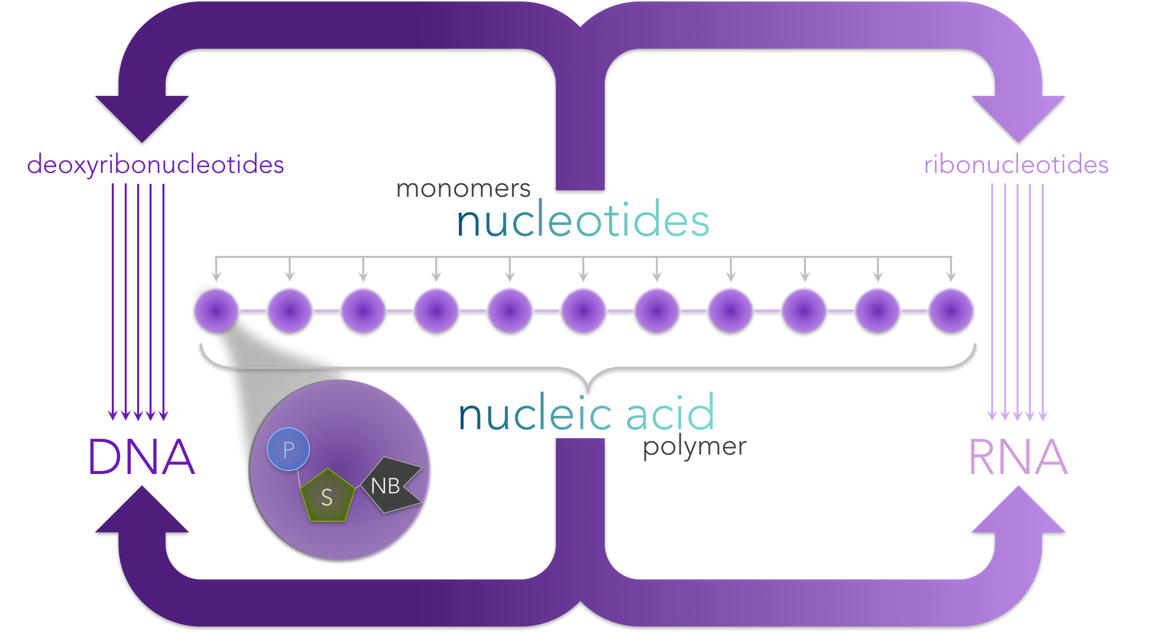 Figure 3.  Nucleic acids are polymers made of a chain of nucleotide monomers . Each nucleotide is composed of a phosphate (P), sugar (S) and a nitrogenous base (NB). Ribonucleotides have the sugar ribose, whereas deoxyribonucleotides have deoxyribose. The nitrogenous bases for ribonucleotides are adenine (A), uracil (U), cytosine (C) and guanine (G), whereas deoxyribonucleotides have the nitrogenous based A, C, G and thymine (T).