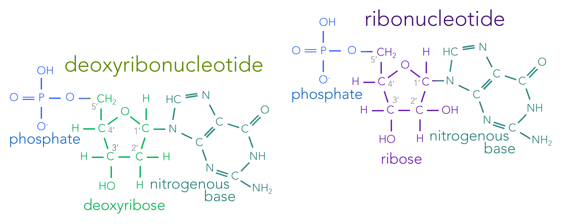Figure 4.  Skeletal structure of nucleotides. Nucleotides are composed of three molecular components: a phosphate, a sugar and a nitrogenous base. Living organisms contain both deoxyribonucleotides (which combine to form DNA) and ribonucleotides (forming RNA). Deoxyribonucleotides contain the sugar deoxyribose, where as ribonucleotides contain the sugar ribose. These sugars are identical, except the presence of an oxygen on the 2' carbon in ribose. Deoxyribonucleotides have one of four nitrogenous bases: adenine, thymine, cytosine or guanine. Ribonucleotides have the nitrogenous bases: adenine, uracil, cytosine and guanine.