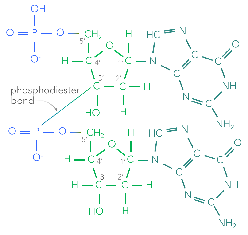 Figure 5.  Phosphodiester bond. The phosphodiester bond between two nucleotides is a covalent bond between the 3' carbon of one sugar and the phosphate of an additional sugar.