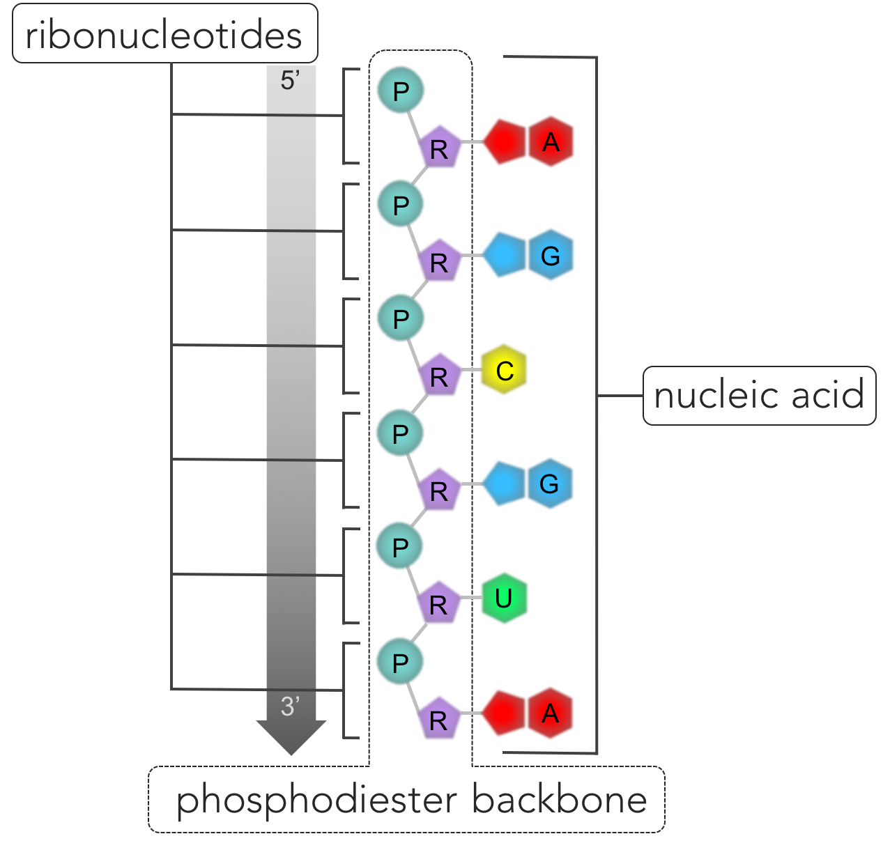 Figure 6.  RNA. Nucleic acids are polymers composed of a single strand (as in RNA) or two strands (DNA) of nucleotides connected by phosphodiester bonds. The repeating pattern of connected phosphate groups (P)and sugars (R) connected form the phosphodiester backbone, while the nitrogenous bases (A, U, C, and G in the case of RNA) hang off the side. One side of the strand of the nucleic acid is bounded by a phosphate group (denoted the 5' end) and a sugar group is located on the opposite end (denoted 3').