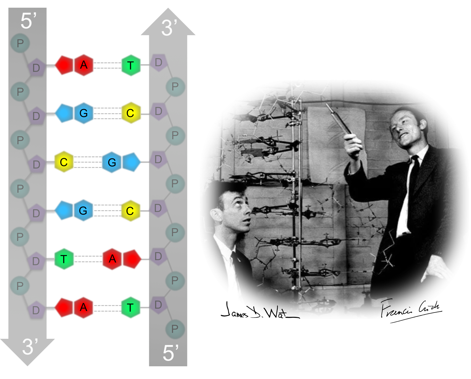 Figure 9.  Secondary structure of DNA. James Watson and Francis Crick uncovered the secondary structure of DNA. 1) DNA is double stranded. 2) The strands are  antiparallel. 3) The strands are held together by  base pairing  of hydrogen bonds between the nitrogenous bases, where adenine binds with thymine and cytosine binds with guanine.