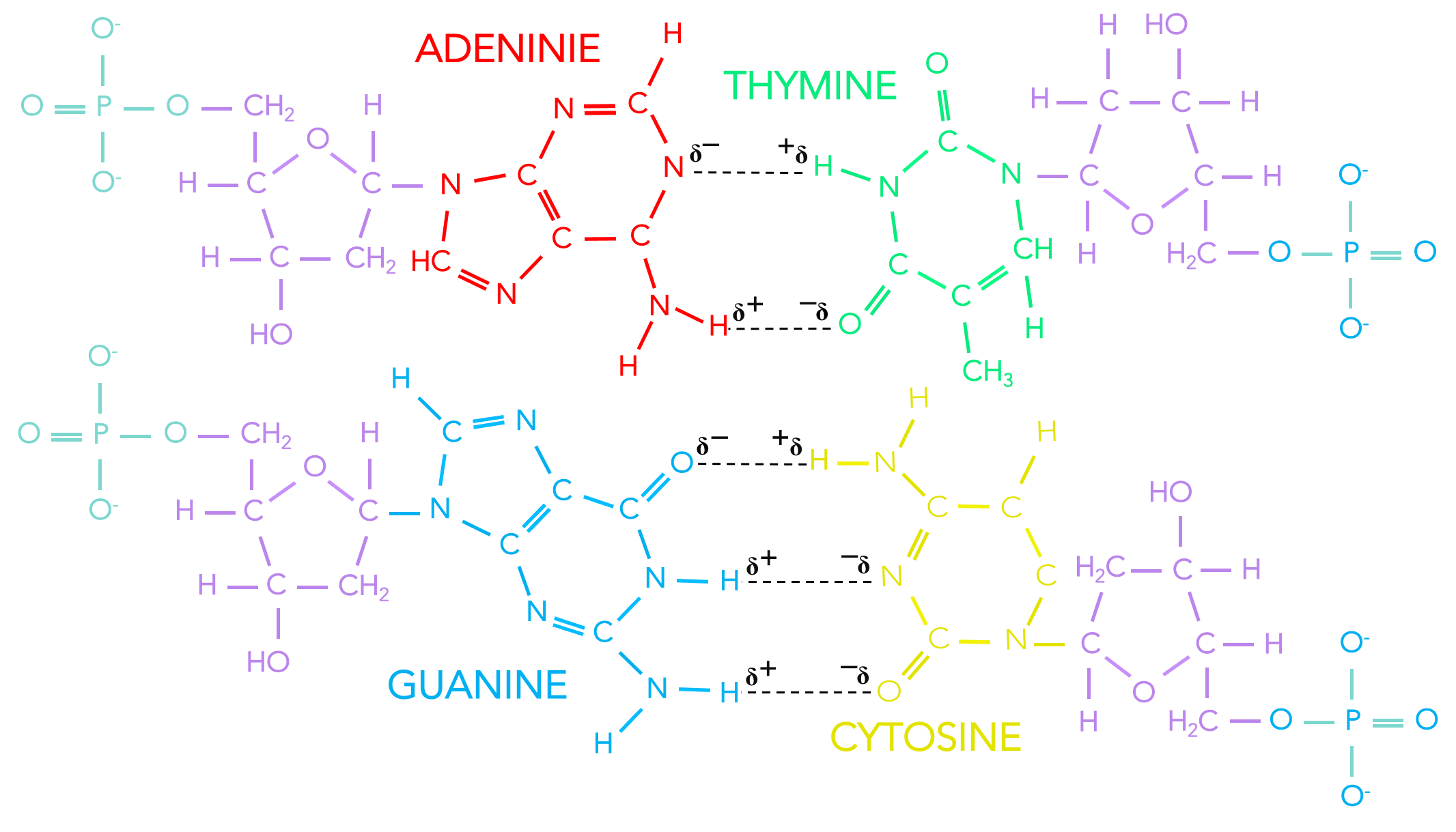 Figure 10.  Base pairing in DNA. Deoxyribonucleotides connect to adjacent deoxyribonucleotides based on complementary base pairing. DNA strands connect via hydrogen bonds. Adenine and thymine form two hydrogen bonds. Guanine and cytosine bind with three hydrogen bonds.