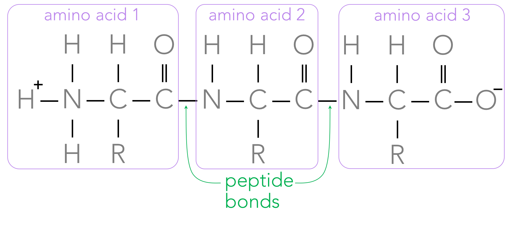 Figure 12.  A polypeptide is composed of several amino acids connected by peptide bonds. Note: on one end of the polypeptide is an amine group, whereas a carboxyl group is on the opposite end.