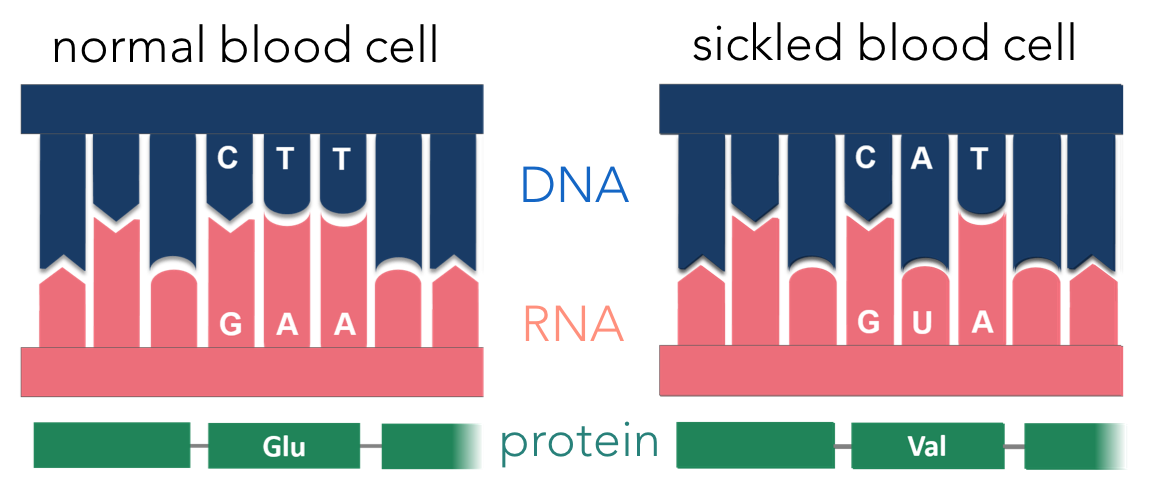 Figure 13.  Sickle cell anemia is caused by an alteration of hemoglobin's primary structure. An alteration in a single deoxyribonucleotide alters the transcribed mRNA. This alters one amino acid in the protein, hemoglobin (responsible for binding to oxygen), creating a sickle-shaped red blood cell.