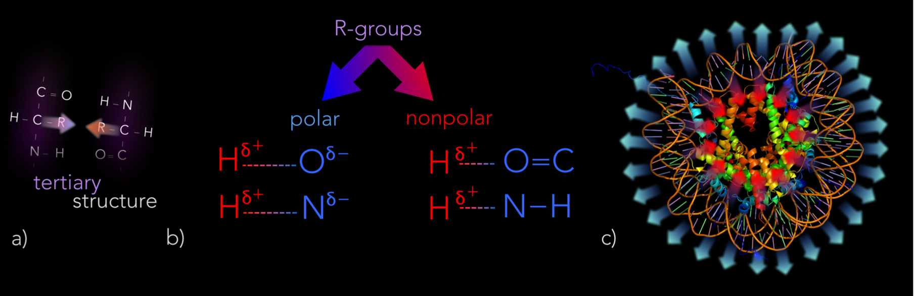 Figure 17.   Tertiary structure of proteins. a) Tertiary structure is affected by how R-groups interact with each other and water. b) Some R-groups are either polar or non-polar. Partially negative atoms (O & N) of polar R-groups form hydrogen bonds with partially positive hydrogens of neighboring R-groups. c) Polar R-groups are hydrophillic, bending towards water. Whereas, non-polar R-groups are hydrophobic and bend away from water.
