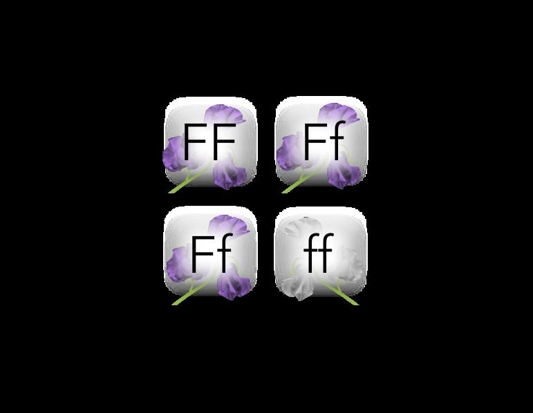 Figure 6. Punnett square of a monohybrid cross.  Ff  X  Ff  produces the F2 generation.