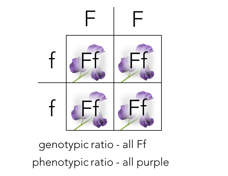 Figure 5. Punnett square of P generation cross.  FF  X  ff  produces the F2 generation.