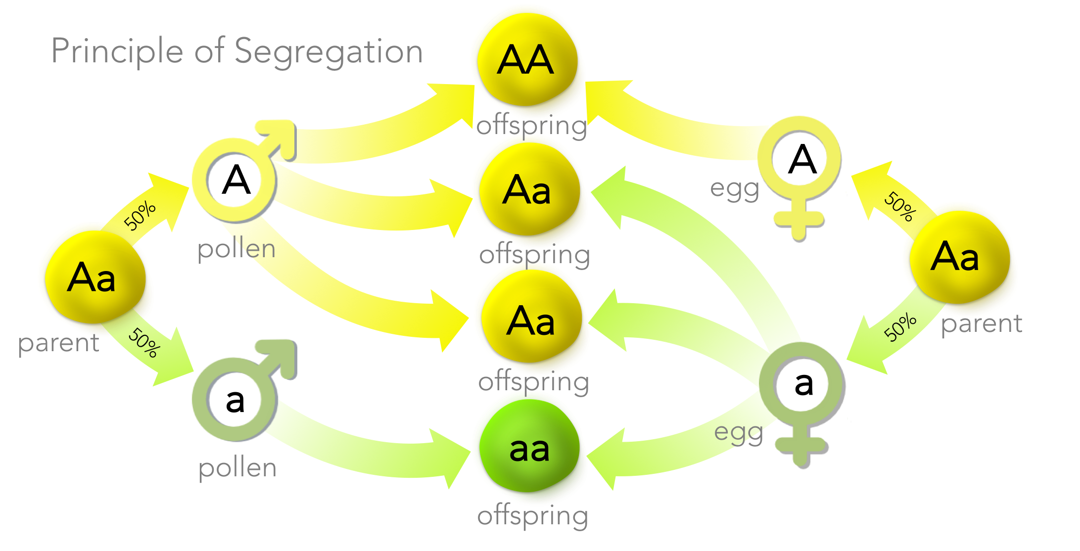 Figure 7. Principle of Segregation. Mendel discovered organisms have two copies of a gene (but potentially different alleles, as is the case with heterozygotes ( Aa ). In the production of gametes, each gamete receives exactly one copy of a gene, at random. During fertilization, gametes fuse at random producing a new organism.The Principle of Segregation explains Mendel's 3 dominant: 1 recessive ratio in the F2 generation.