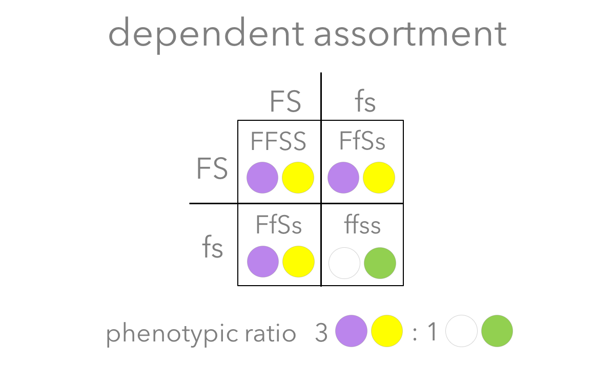 Figure 8. Prediction of  dependent assortment.  In a dihybrid cross ( FfSs  X  FfSs ), the dependent assortment predicts the  F and the  S alleles are physically linked, and the  f and the  s alleles are linked. When a dihybrid cross is conducted, dependent assortment predicts offspring with a phenotypic ratio of 3 purple-flower/yellow-seed: 1 white-flower/green-seed.