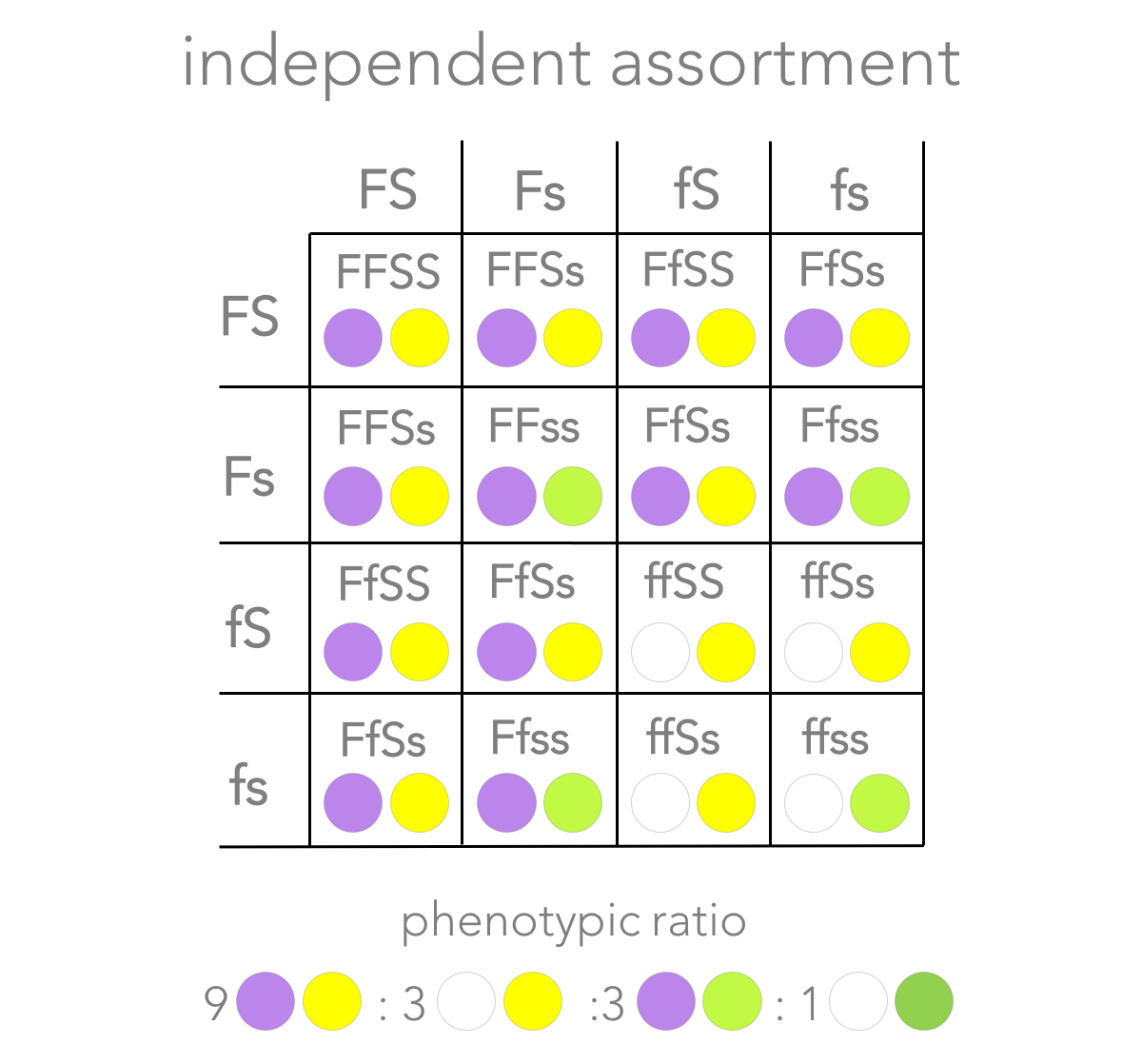 Figure 9. Prediction of  independent assortment.  Independent assortment predicts the alleles are  not  physically linked. All combinations are possible:  FS, Fs, fS, and  fs. When a dihybrid cross is conducted, independent assortment predicts offspring with a phenotypic ratio of 9 purple-flower/yellow-seed: 3 purple-flower/green-seed: 9 white-flower/yellow-seed: 1 white-flower/green-seed.