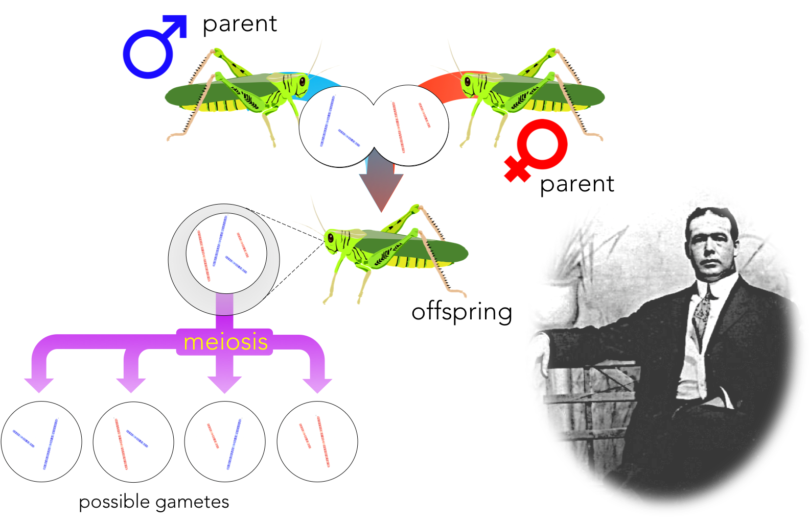 Figure 3. Walter Sutton discovered the importance of chromosomes in explaining Mendel's principles of segregation and independent assortment.