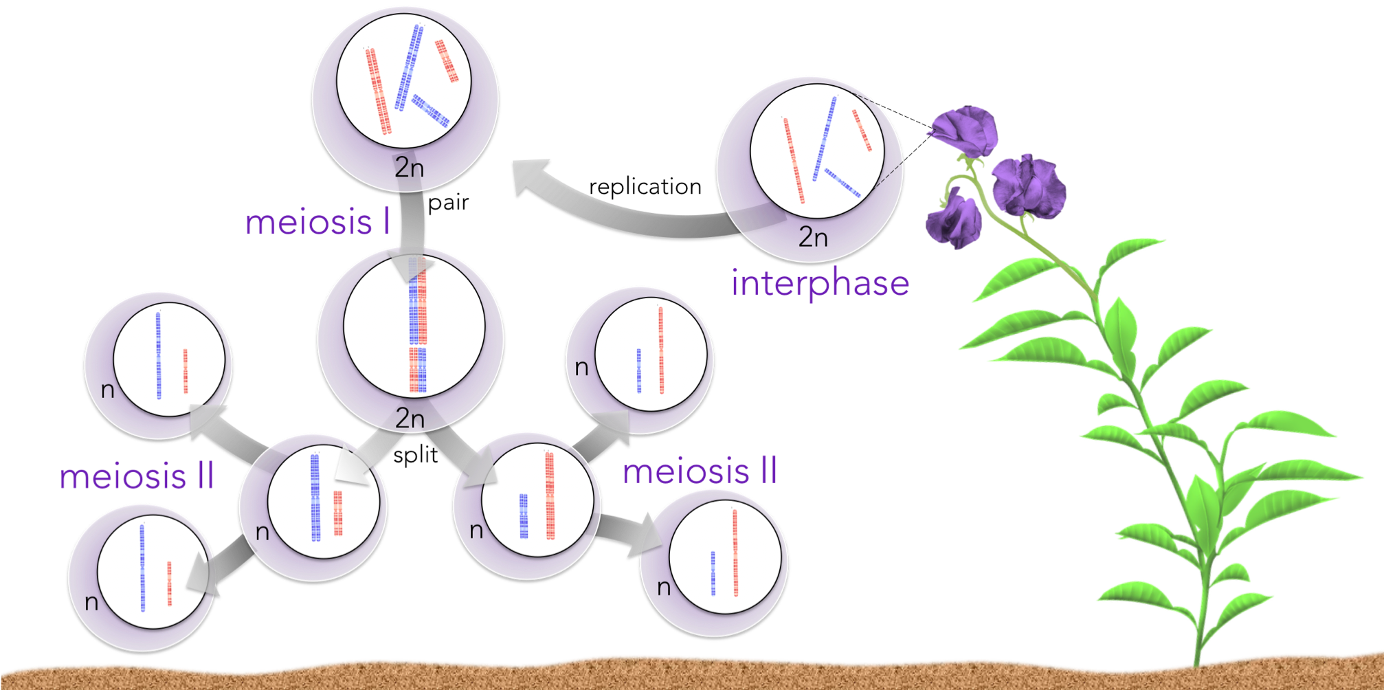 Figure 4 .  Meiosis explains the principle of segregation . Each gamete resultant from meiosis has an equal probability of acquiring one or another homologous chromosome, for each homologous chromosome pair.