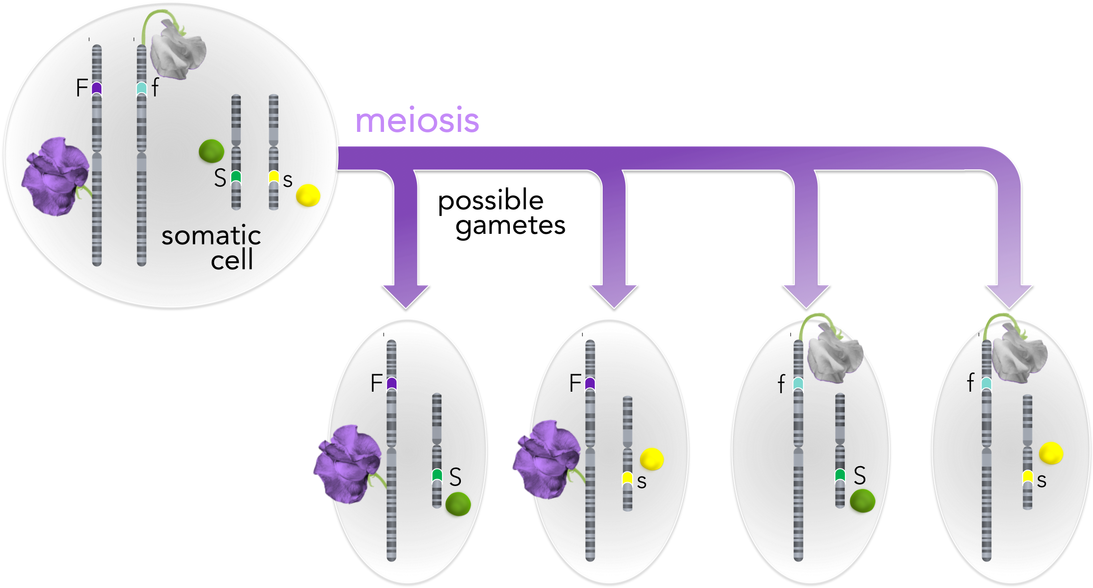 Figure 5.   Meiosis explains independent assortment.  If alleles are on different chromosomes, there is an equal probability of acquiring any allele combination in dihybrids (i.e. FfSs). This explains the 9:3:3:1 ratio discovered by Correns and Mendel.