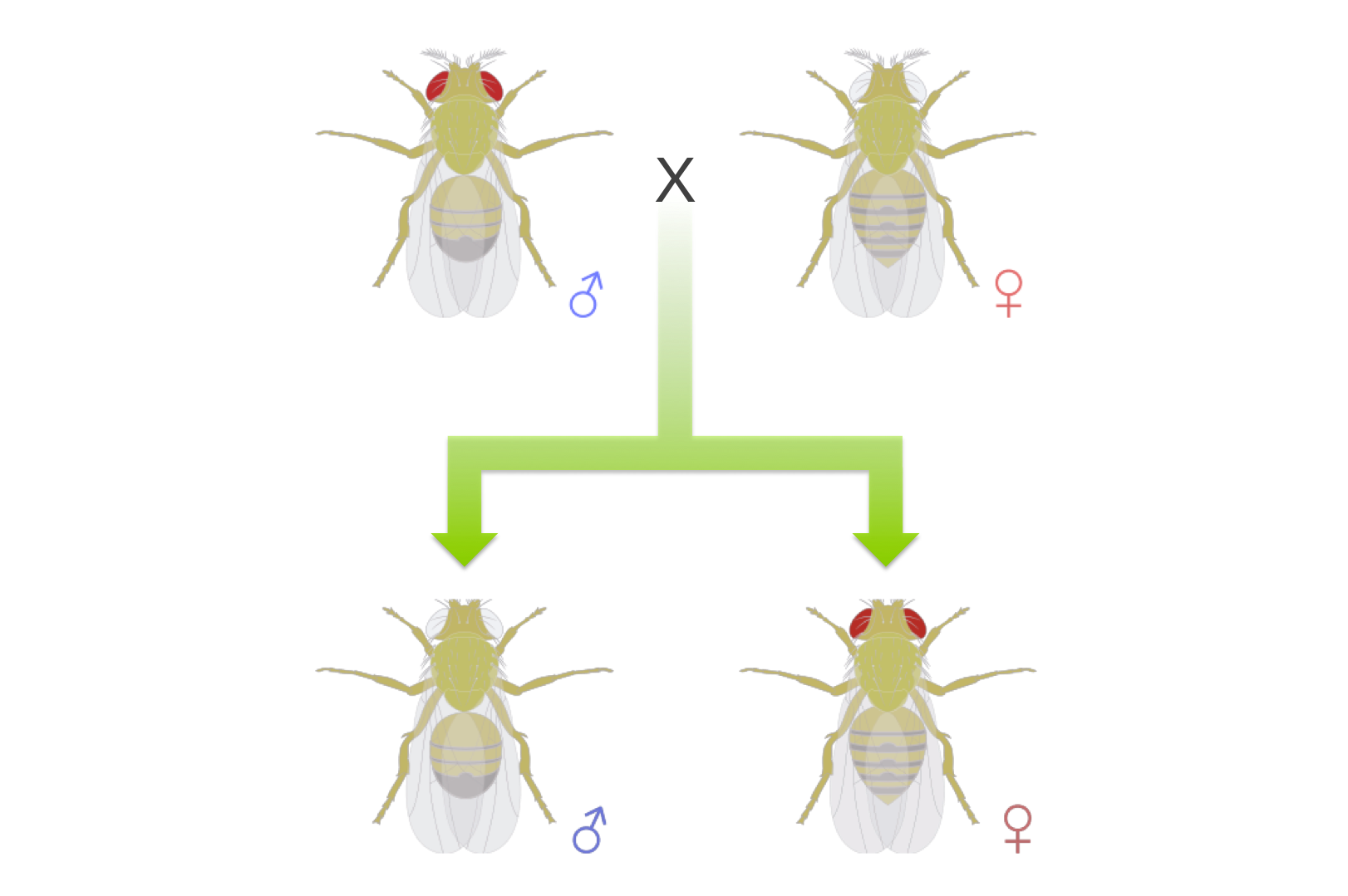 Figure 8. When Morgan crossed a red-eyed male with a white-eyed female, he didn't get one or the other eye color predicted by the principle of dominance. Rather all the male progeny had white eyes and the females had red eyes, the opposite of their parents.