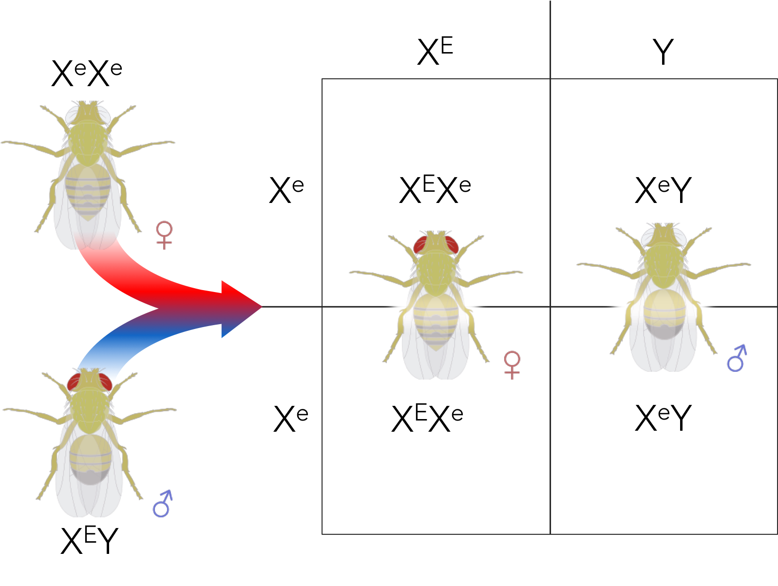 Figure 10.  Expected phenotypic ratio of a cross between a white-eyed female and a red-eyed male.  1 red-eyed female : 1 white-eyed male.