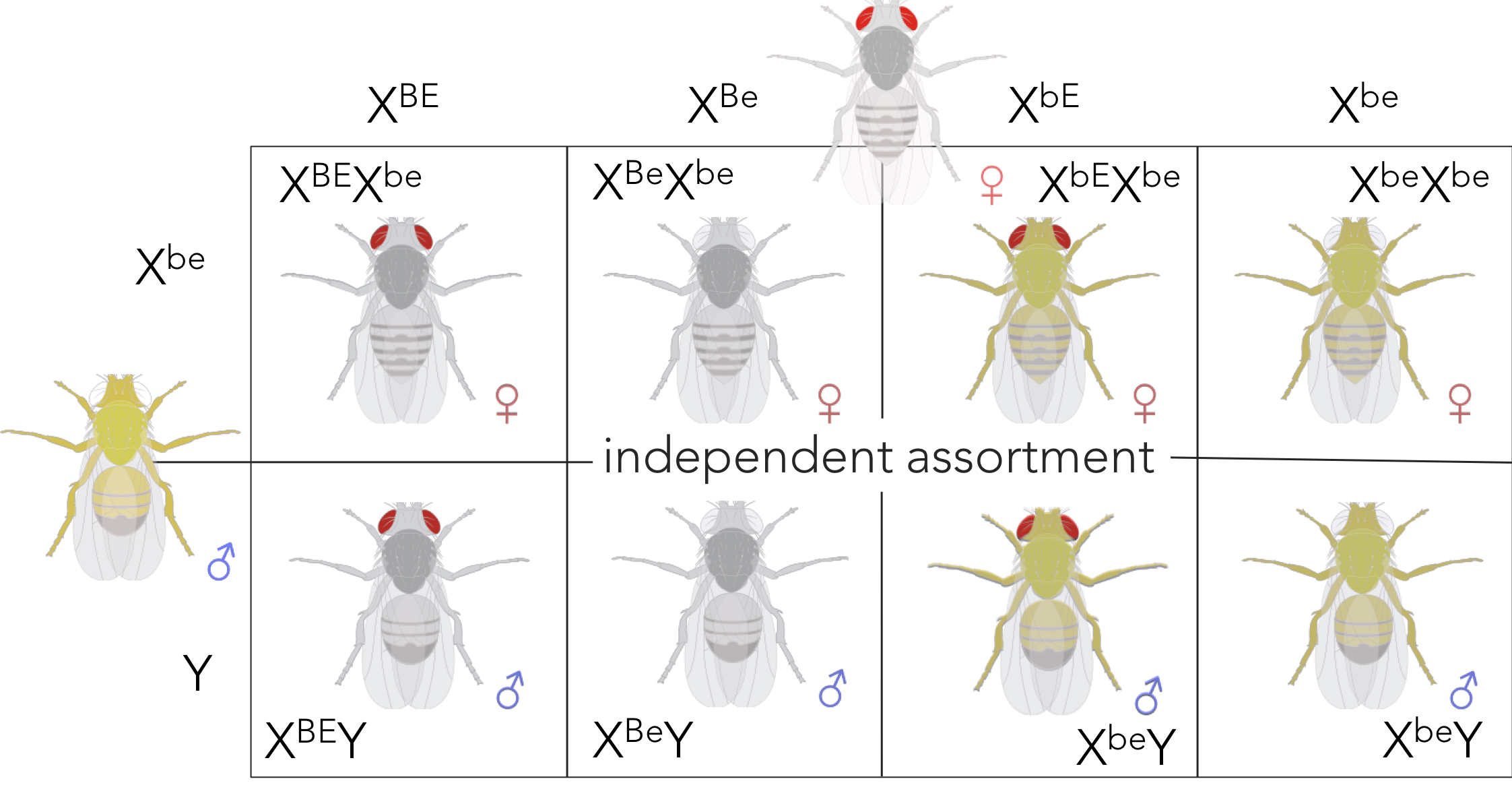 Figure 13.  Expected phenotypic ratio of XBEXbe x XbeY supporting independent assortment. Removing sex from the ratio, the expected phenotypic ratio supporting independent assortment is 1 red/grey : 1 white/grey : 1 red/yellow : 1 white yellow.