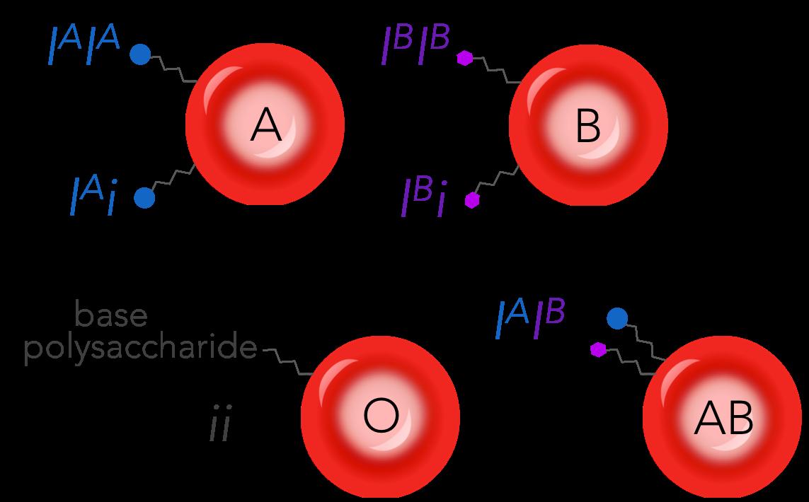 Figure 16.  Codominance in human blood type.