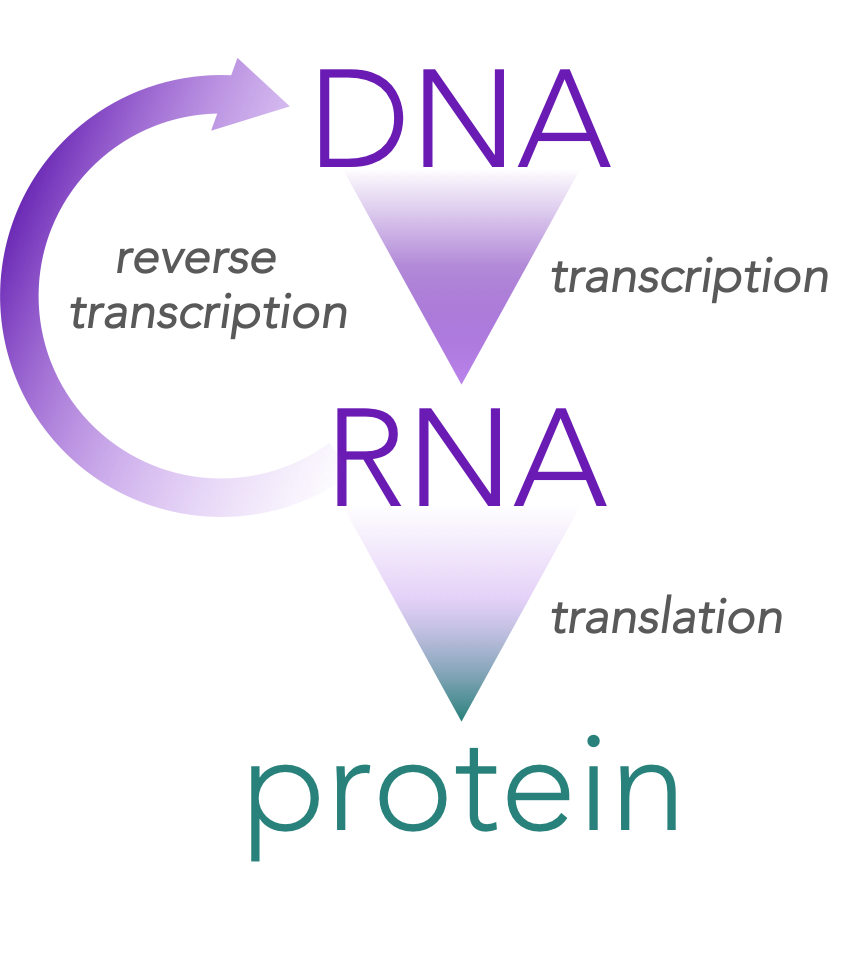 Figure 2.   Retroviruses represent an exception to the central dogma.