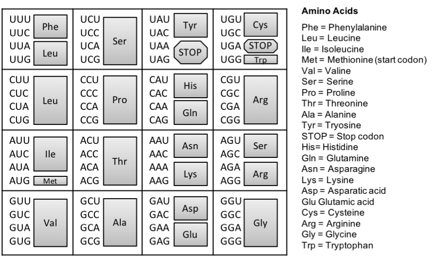 Figure 3.   The genetic code.  The triplet code mRNA directly codes for the assembly of amino acids that make up a protein. To identify the amino acid coded by the mRNA sequence, locate the mRNA triplet code (codon), the grey box to its right represents the corresponding amino acid. For example, CCC indicates the amino acid Proline (Pro).