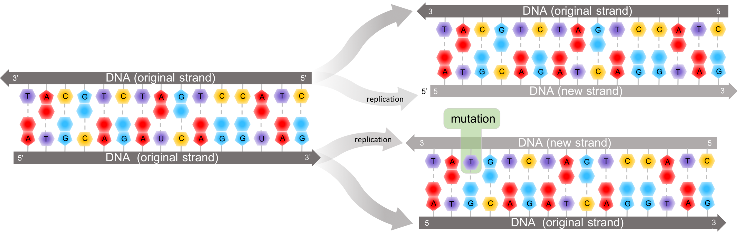 Figure 5.   Point mutations.  Point mutations are a change to a single deoxyribonucleotide, which happens during a mismatch during DNA replication. Point mutations can affect the eventual protein by changing an amino acid in the polypeptide chain.