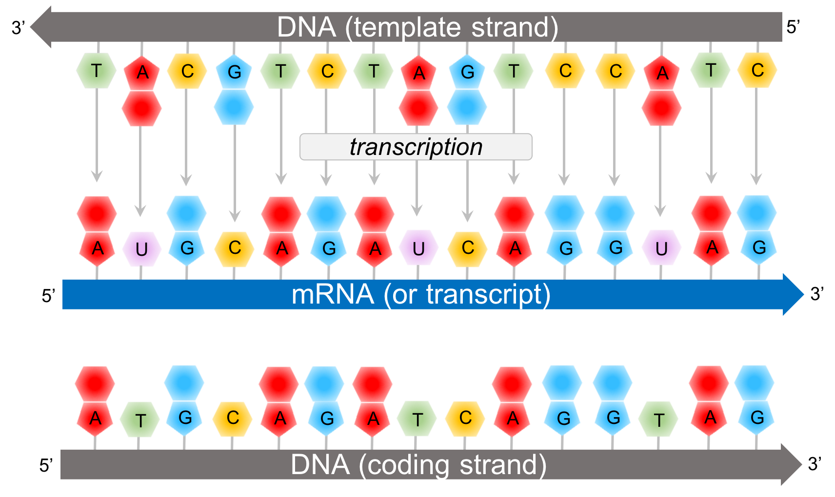 Figure 8.  Transcription creates a transcript, or mRNA, according to complementary base pairing of the template strand of DNA.