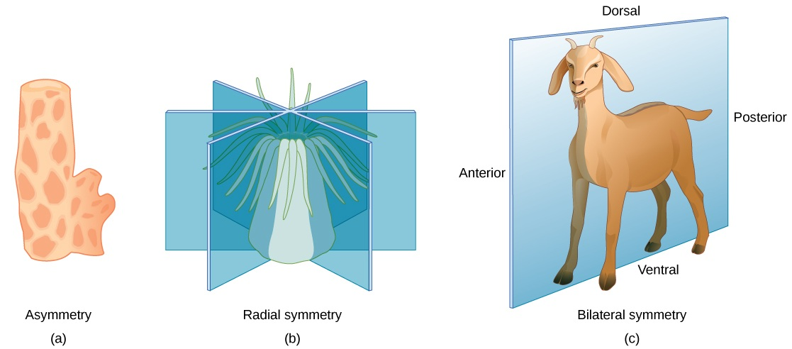 Figure 4.   Asymmetry.  Sponges also differ from all other animals in that they have an asymmetrical body plan and do not have nerves, muscles, a digestive or a circulatory system.  Radial Symmetry.  Cnidarians (i.e. jelly fish) and Ctenophorans (box jellies) have radial symmetry, consisting of many planes of symmetry.  Bilateral Symmetry.  Most animals are bilaterally symmetrical, consisting of two symmetrical halves.