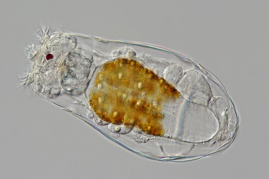 Figure 18.   Phylum Rotifera.  Rotifers are small animals that feed with specialized mouthparts known as a  corona .