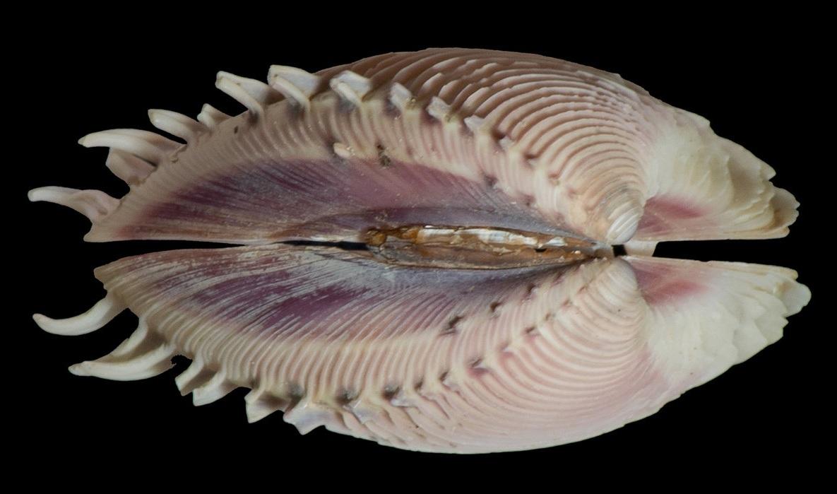 Figure 23.   Subphylum Bivalvia.