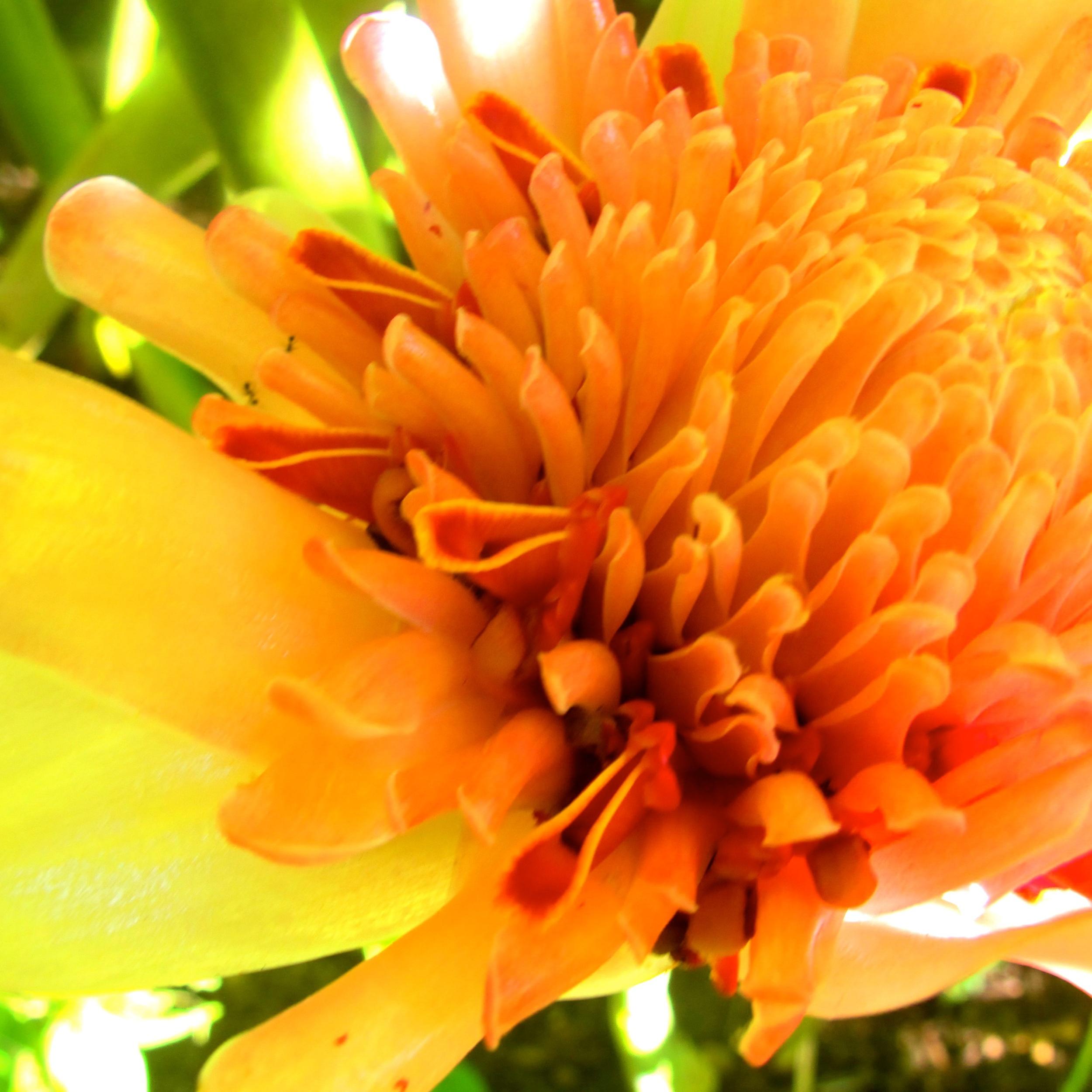pink ginger flower.jpg
