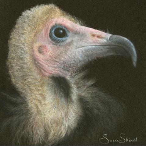 Hooded Vulture, by Susan Shimeld.  festival.artistsforconservation.org