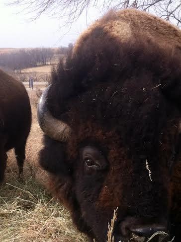 Plumlee Buffalo (closeup)