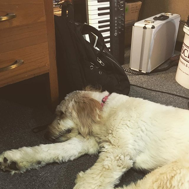 Sleepy studio pup. #goldendoodle