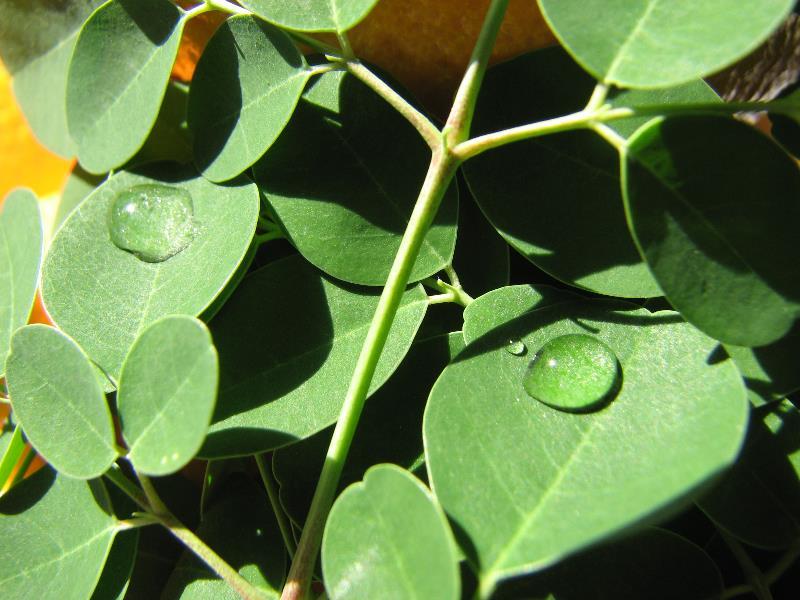 Dew on Moringa Leaves
